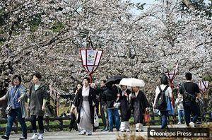 さくらまつり開幕を控え、場所によっては開花が一気に進み、華やかさを増す園内=20日午後、弘前公園