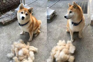 「お風呂入れたらイッキに抜けました」何食わぬ顔で佇む柴犬に反響、飼い主に聞く愛犬との暮らし