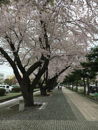 老木化進み、市が更新計画策定へ/十和田・官庁街通り桜並木