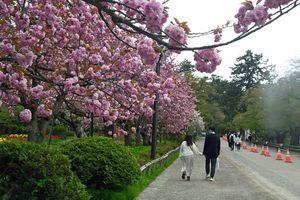 遅咲きの桜が来園者を楽しませた弘前さくらまつり最終日=5日午後2時ごろ、弘前公園
