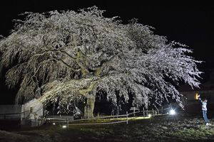 2年ぶりにライトアップされた「槍沢の枝垂れ桜」=16日午後7時49分