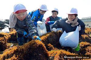 磯にびっしり生えたフノリを摘み取る児童たち