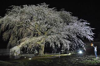 五戸「槍沢の枝垂れ桜」見ごろ