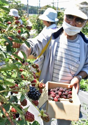 オープンした「三内縄文ベリーランド」でブラックベリーを収穫する来場者たち