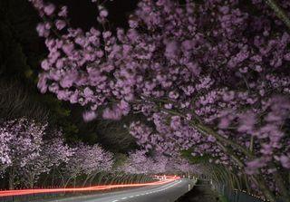 満開桜並木、闇に鮮やか/青森・横内