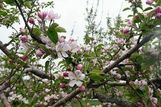 桜の次は「リンゴの花」楽しんで/弘前でまつり