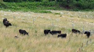 道の駅に面した牧草地に放牧されている市浦牛