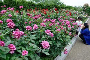色とりどりのバラが咲き誇っている八戸公園のローズガーデン=8日