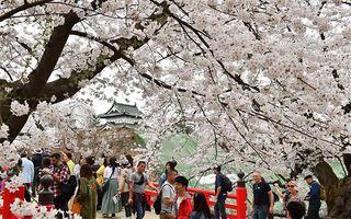 弘前公園の桜満開 外国人客も大勢見物