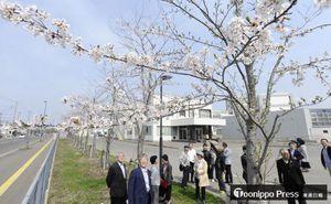 寄贈から10年がたち、大きく成長したソメイヨシノに目を細める東京青高同窓会の会員たち