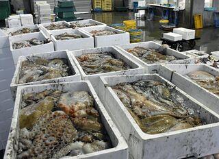 1月水揚げ20倍、日本海側のマダコ記録的大漁