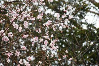 薄紅色 寒桜満開/風間浦「まるほん旅館」