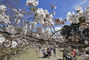 弘前さくらまつりが開幕し、早咲きのソメイヨシノが花見客を出迎えた園内=20日午後、弘前公園二の丸付近