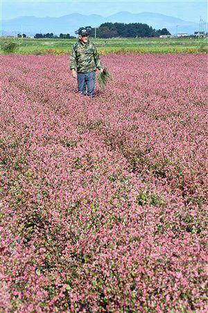 青森市で栽培されている「あおもり藍」=2019年11月