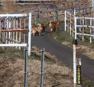 展望台につながる遊歩道を歩き回る野犬とみられる群れ=4月(県動物愛護センター提供)