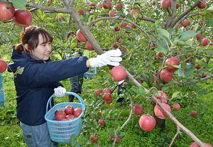 サンふじを丁寧に収穫する青森中央学院大の学生