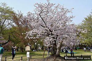 満開を迎えた弘前雪明かりの原木=弘前公園三の丸ピクニック広場