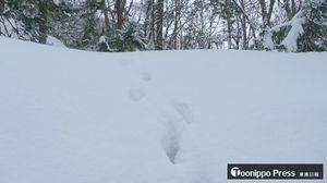 カモシカの足跡。姿は見られず