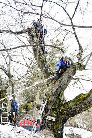 桜の剪定を手際よく進める弘前市公園緑地課の職員ら=18日午前9時40分ごろ、弘前公園下乗橋近く