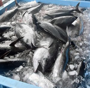 漁業者が水揚げしたクロマグロ。資源管理が強化されている=6月、深浦港