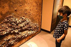 二ツ森貝塚館で貝塚から剥ぎ取った断面に見入る見学者=七戸町