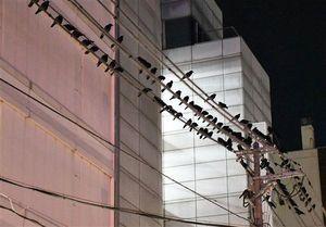 電線を覆うカラス=4日午後6時すぎ、八戸市番町