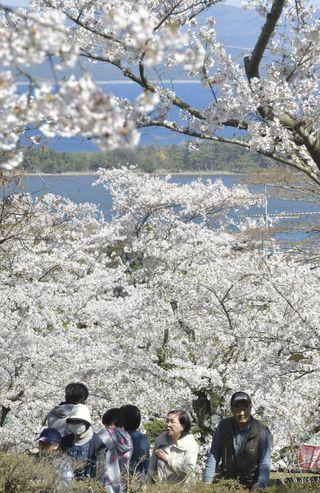 本州最北、下北・水源池公園の桜見ごろ