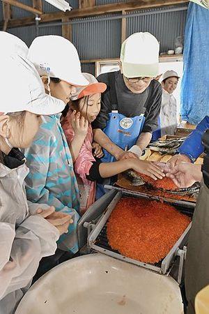 サケの採卵作業を体験する子どもたち