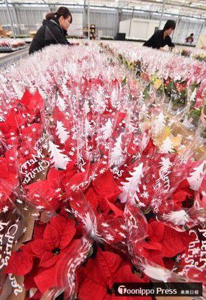 真っ赤なポインセチアがフィルムに包まれ、華やかな雰囲気の出荷作業=6日、六ケ所村