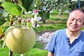 青森の果樹園でなぜかリンゴの花が開花