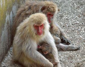 お昼の餌を食べ終え、日陰で休みながら赤ちゃんザルに授乳する母ザル