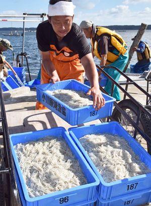 13日から小川原湖で始まった秋漁で、初水揚げされたシラウオ