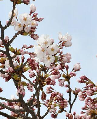 黒石市でも桜開花宣言