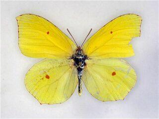 ヤマキチョウなど「絶滅」/レッドデータ改訂