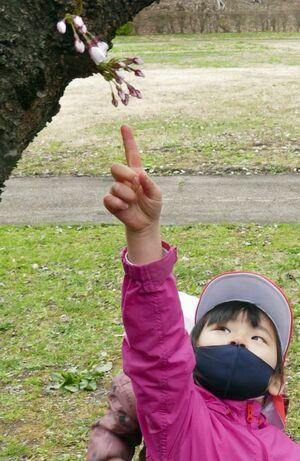 市公園緑地課が開花を宣言した標準木から、開いた花を探す園児たち=14日午前10時15分ごろ、弘前市の弘前公園