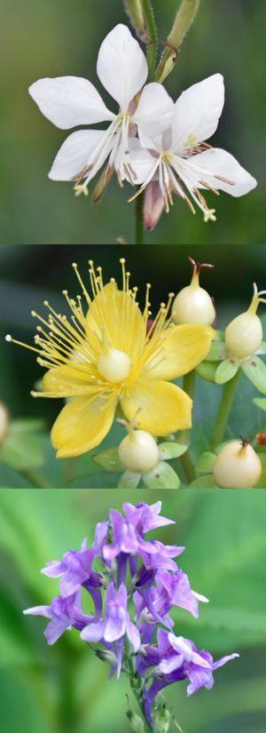 官庁街通りの花壇に咲く(上から)ガウラバレリーナホワイト、ヒペリカム、カンパニュラ