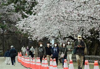 桜早咲きの弘前公園、「準まつり」静かに開幕