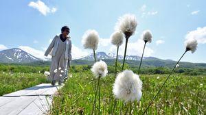 初夏の風に揺れる田代平湿原のワタスゲ=5日午後、青森市駒込