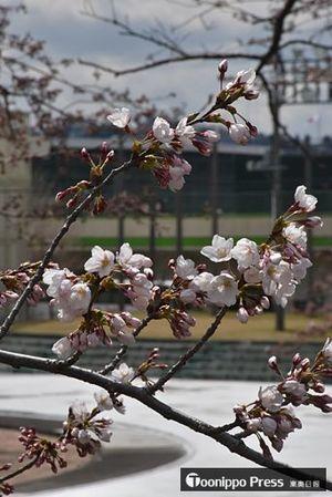 ほころび始めた長根公園のソメイヨシノ。後方に見えるのが建設中の屋内スケート場=16日正午ごろ、八戸市売市