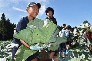 ゆうき青森農協が開催した食育教室でキャベツを収穫する子供たち=8月下旬、東北町