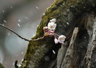 弘前公園の桜満開19日、開花予想に変更なし