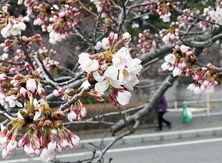 五所川原・芦野公園で桜開花