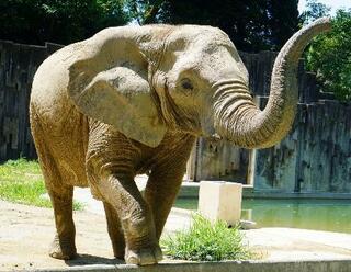 アフリカゾウの「ケニー」死ぬ