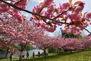 湖岸に沿って続く八重桜の並木をたどるウオーキングイベントの参加者=8日午前、青森市の野木和公園