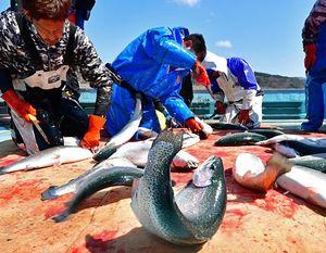 いけすから水揚げ後、活け締めされる深浦サーモン=16日午後、深浦漁港