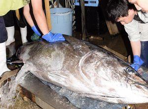 大間漁港に水揚げされた約120キロのクロマグロ。関係者からは「漁獲規制の影響でハマに活気がない」との声が聞こえる=2日