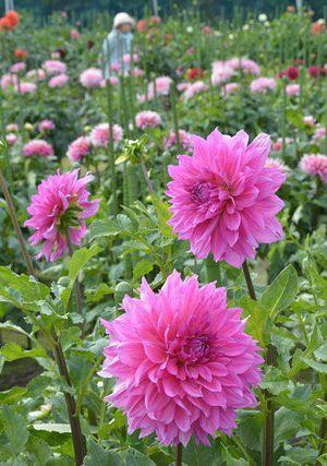穏やかな日差しを受け咲き誇る大輪のダリア=13日午後、五戸町のひばり野ダリア園