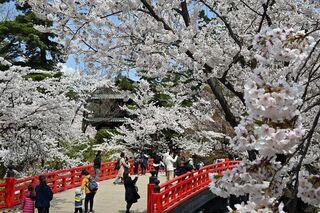 咲き誇るソメイヨシノ 弘前公園園内満開