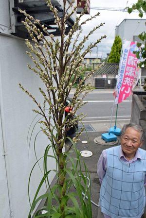 約30年を経て初めて花が咲いた観葉植物・ポニーテール