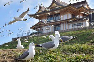 多くのウミネコが飛び回る蕪島。後方は再建中の蕪嶋神社=9日午前